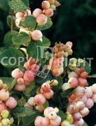 Symphoricarpos orbicolatus B29