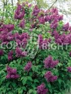 Syringa vulgaris B30