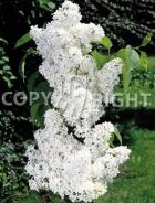 Syringa vulgaris B31