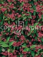 Weigela bristol ruby B34