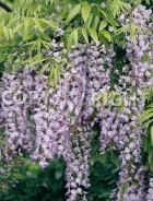 Wisteria sinensis B36