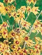 Chimonanthus praecox B38