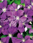 Clematis the president B41