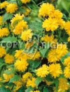 Kerria japonica B48
