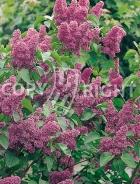 Syringa vulgaris B54
