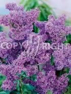 Syringa vulgaris B56
