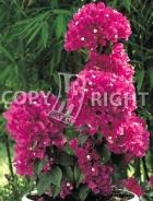 Bougainvillea glabra B67