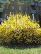 Forsythia x intermedia B70