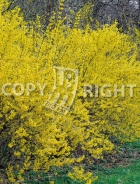Forsythia x intermedia B71