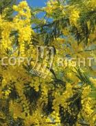 Mimosa B76