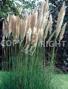 Gynerium argenteum B77