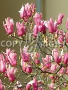 Magnolia soulangeana B83