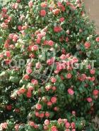 Camellia japonica B87