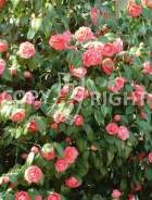 Camellia japonica B88