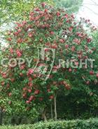 Camellia japonica B90
