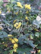 Ilex aquifolium B93