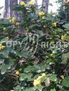 Ilex aquifolium B94