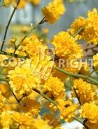 Kerria japonica B99