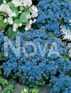 Agerato nano blu 900154