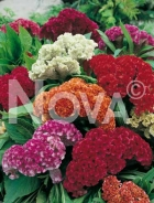 Celosia cresta di gallo mix 906053