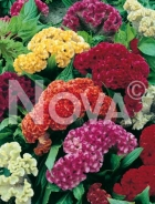 Celosia cresta di gallo mix 906054