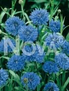 Centaurea o fiordaliso blu 906200