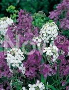 Violaciocca antoniana mix 915250
