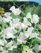 Pisello odoroso bianco 918210