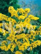 Statice giallo 919108