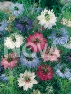 Nigella di damasco mix 922950