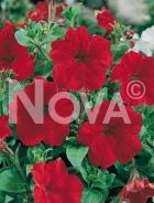 Petunia nana compatta rossa 924951