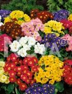 Primula dei giardini mix 926455