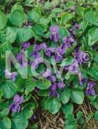 Viola mammola 932800