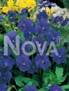 Viola cornuta blu 932802