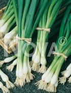 Cipolla bianca di lisbona 948772