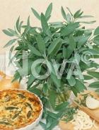 Salvia officinale 953101