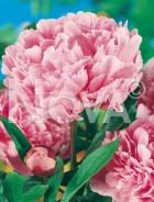 Paeonia rosa G3900002