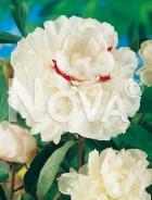 Paeonia bianca G3900003