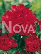 Paeonia rossa G3900004