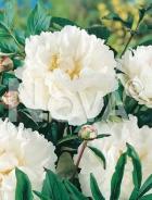 Paeonia bianca G3900082