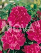 Paeonia rossa G3900084