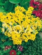 Calceolaria gialla G3900137