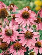 Echinacea purpurea rosa G3900150