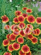Gaillardia bicolore a grandi fiori G3900156