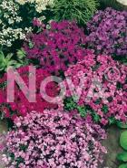 Aubrezia nana mix G3900185