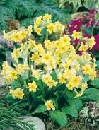 Primula dei giardini gialla G3900265