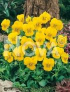 Viola cornuta gialla G3900321