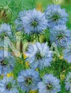 Nigella di damasco blu G4500098