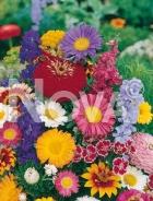 Miscuglio di fiori annuali G4500256