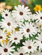 Dimorfoteca bianca G4500342